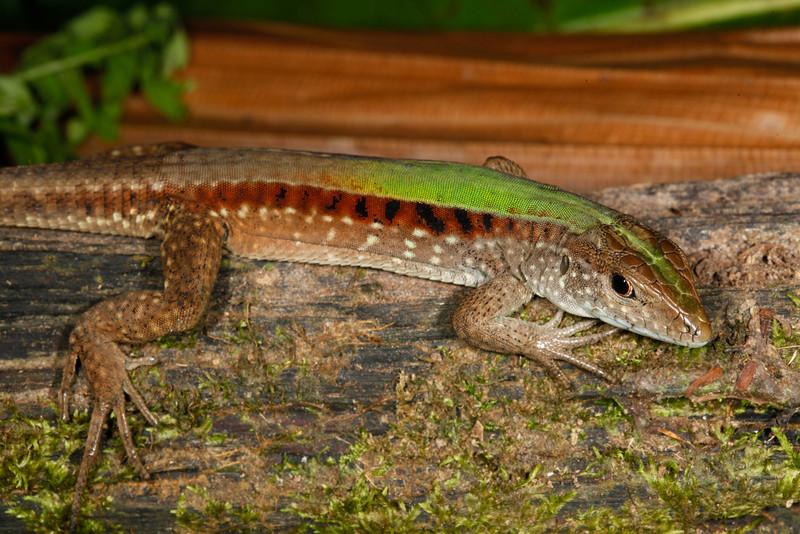 DCD Scincomorpha Teiidae<br /> Kentropyx altamazonica<br /> Cocha Whiptail<br /> Madre Selva<br /> 2013