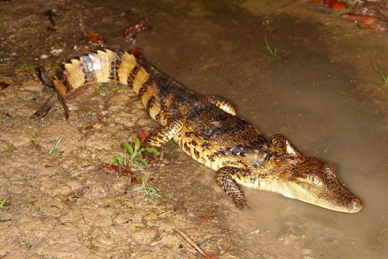 C Crocodylia Eusuchia Alligatoridae<br /> Caiman crocodilus<br /> Spectacled caiman<br /> Santa Cruz<br /> 2013