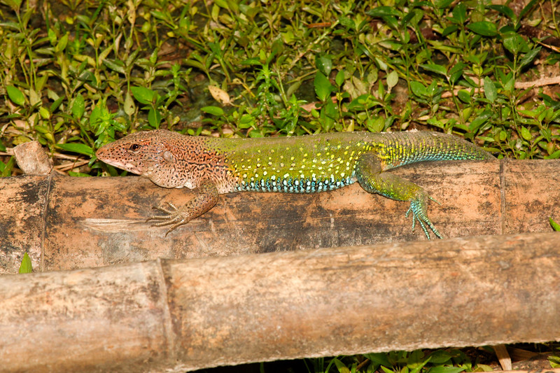DCD Scincomorpha Teiidae<br /> Ameiva ameiva<br /> Amazon Whiptail<br /> Iquitos<br /> 2013