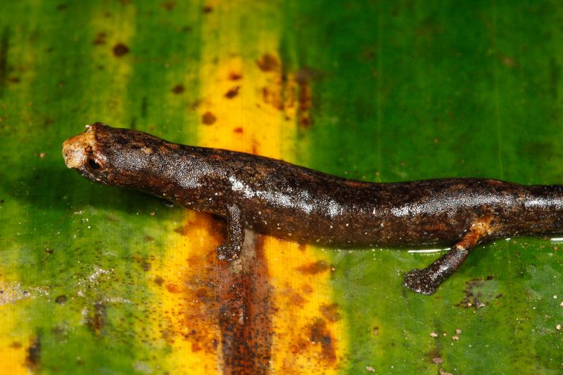 AB Plethodontidae Hemidactyliinae<br /> Bolitoglossa altamazonica<br /> Amazon Climbing Salamander<br /> Santa Cruz<br /> 2013