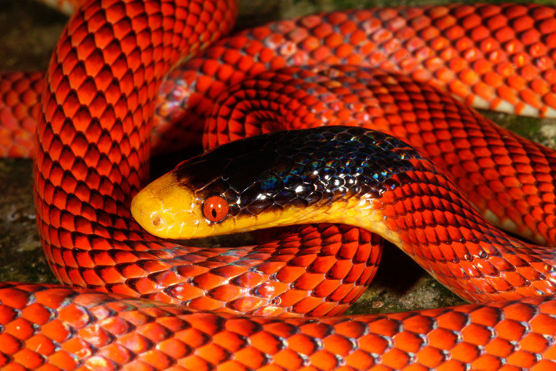 EEF Colubroidea Dipsadidae<br /> Oxyrhopus occipitalis (Oxyrhopus formosus)<br /> Yellow Headed Calico Snake<br /> Madre Selva<br /> 2013