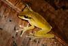 BC Hylidae Hylinae<br /> Osteocephalus yasuni<br /> Yasuni Bromeliad Treefrog<br /> Santa Cruz<br /> 2013