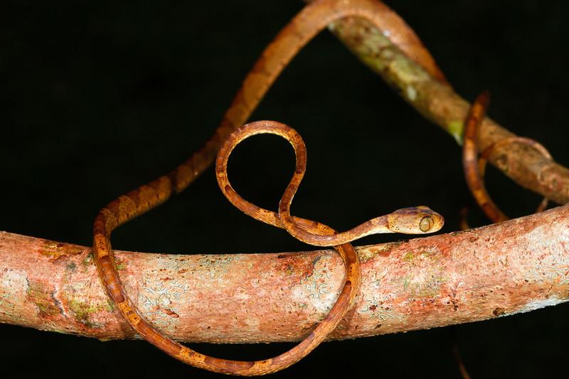 EEF Colubroidea Dipsadidae<br /> Imantodes lentiferus<br /> Amazon Blunt Headed Tree Snake<br /> Santa Cruz<br /> 2013