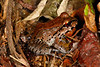 BG Leptodactylidae<br /> Leptodactylus knudseni<br /> Knudsen's thin-toed frog<br /> Madre Selva<br /> 2013