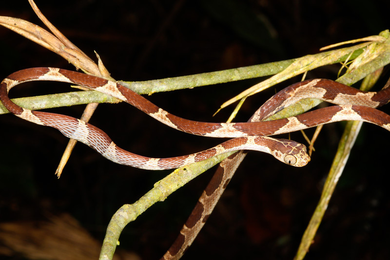EEF Colubroidea Dipsadidae<br /> Imantodes cenchoa<br /> Common Blunt Headed Tree Snake<br /> eating Anolis trachyderma<br /> Madre Selva<br /> Photo #11<br /> 2013