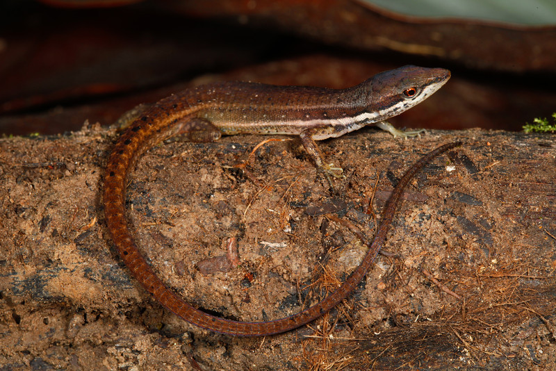 DCC Scincomorpha Gymnophthalmidae<br /> Cercosaura argulus<br /> White Striped Eyed Lizard<br /> Madre Selva<br /> 2013