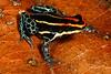 BE Dentrobatidae Dendrobatinae<br /> Ranitomeya uakarii<br /> Peruvian Amazon Poison Frog<br /> Madre Selva<br /> 2013