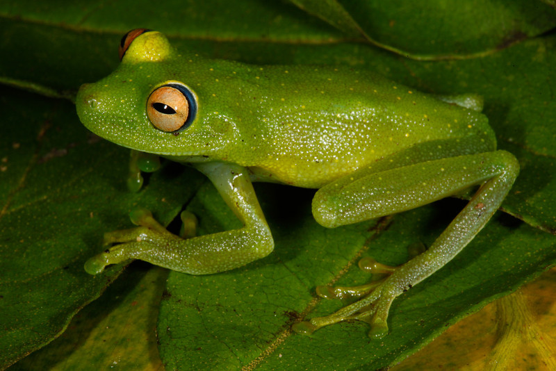 BC Hylidae Hylinae<br /> Hypsiboas cinerascens<br /> Rough Skinned Green Treefrog<br /> Santa Cruz<br /> 2013