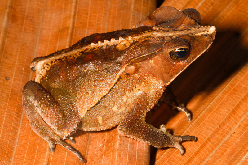 BA Bufonidae<br /> Rhinella margaritifera<br /> Crested Forest Toad<br /> Madre Selva<br /> 2013