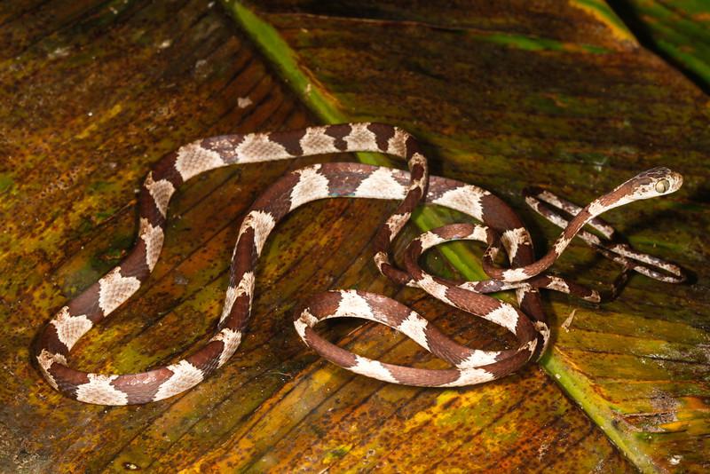 EEF Colubroidea Dipsadidae<br /> Imantodes cenchoa<br /> Common Blunt Headed Tree Snake<br /> Madre Selva<br /> Speciman #3<br /> 2013