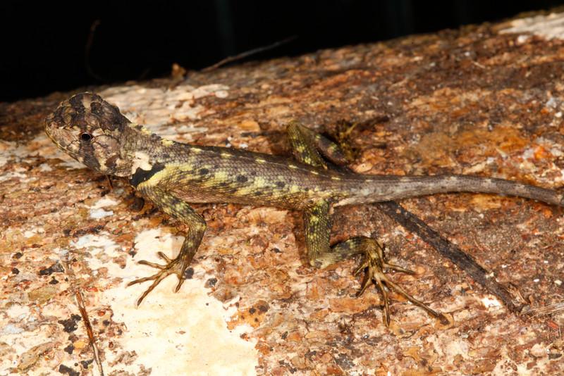 DA Iguania Iguanidae Tropiduridae<br /> Plica umbra<br /> Olive Tree Runner<br /> Madre Selva<br /> 2013