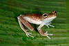 BC Hylidae Hylinae<br /> Hypsiboas nympha<br /> Madre Selva<br /> 2013