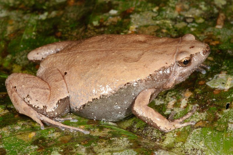 BF Microhylidae Gastrophryninae<br /> Hamptophryne boliviana<br /> Amazon Sheep Frog<br /> Madre Selva<br /> 2013