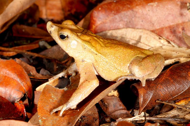 BA Bufonidae<br /> Rhinella dapsilis<br /> Sharp Nosed Toad<br /> Madre Selva<br /> 2013