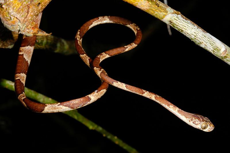 EEF Colubroidea Dipsadidae<br /> Imantodes cenchoa<br /> Common Blunt Headed Tree Snake<br /> Madre Selva<br /> Speciman #2<br /> 2013