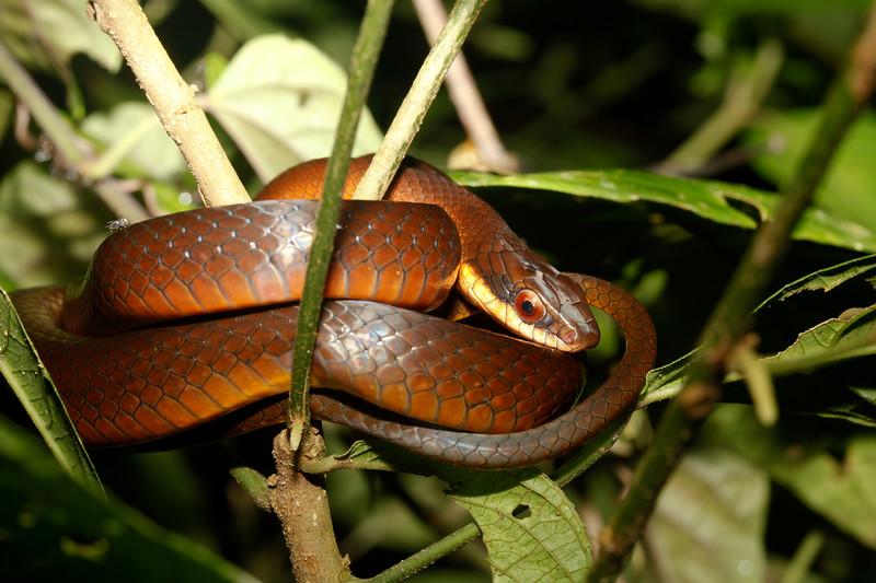 EEB Colubroidae Colubridae<br /> Drymoluber dichrous <br /> Amazon Glossy Racer<br /> Madre Selva<br /> In Situ<br /> 2013