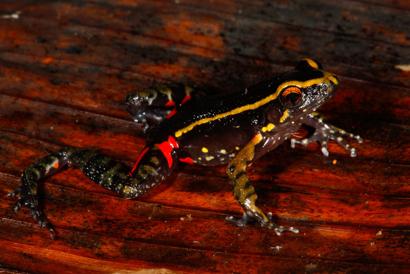 BG Leptodactylidae<br /> Lithodytes lineatus<br /> Painted Antnest Frog<br /> Santa Cruz<br /> 2013