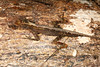 DA Iguania Iguanidae Dactyloidae<br /> Anolis trachyderma<br /> Common Forest Anole<br /> Madre Selva<br /> 2013