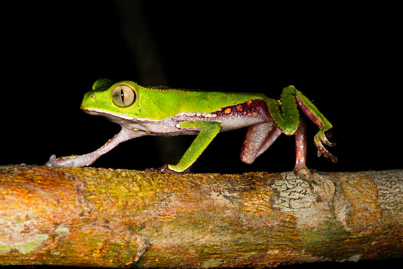 BC Hylidae Phyllomedusinae<br /> Phyllomedusa vaillanti<br /> White Lined Monkey Frog<br /> Madre Selva<br /> 2013