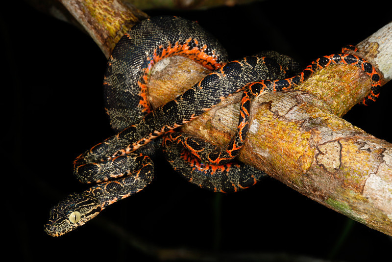 ED Booidea Boidae Boinae<br /> Corallus hortulanus<br /> Amazon Tree Boa<br /> Madre Selva <br /> Speciman #1<br /> 2013