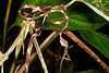 EEF Colubroidea Dipsadidae<br /> Imantodes cenchoa<br /> Common Blunt Headed Tree Snake<br /> eating Anolis trachyderma<br /> Madre Selva<br /> Photo #3<br /> 2013