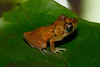 BG Strabomantidae Strabomantinae <br /> Pristimantis ockendeni<br /> Carabaya Rain Frog<br /> Madre Selva<br /> 2013