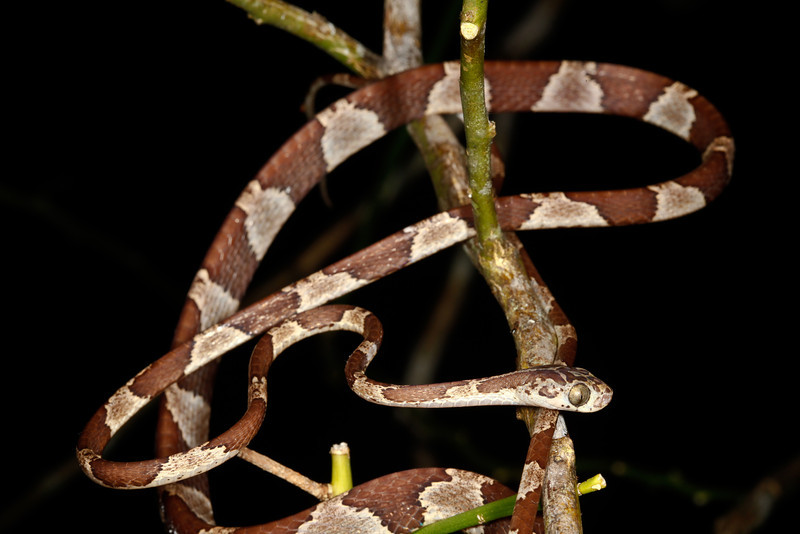 EEF Colubroidea Dipsadidae<br /> Imantodes cenchoa<br /> Common Blunt Headed Tree Snake<br /> Madre Selva<br /> Speciman #2<br /> 2013