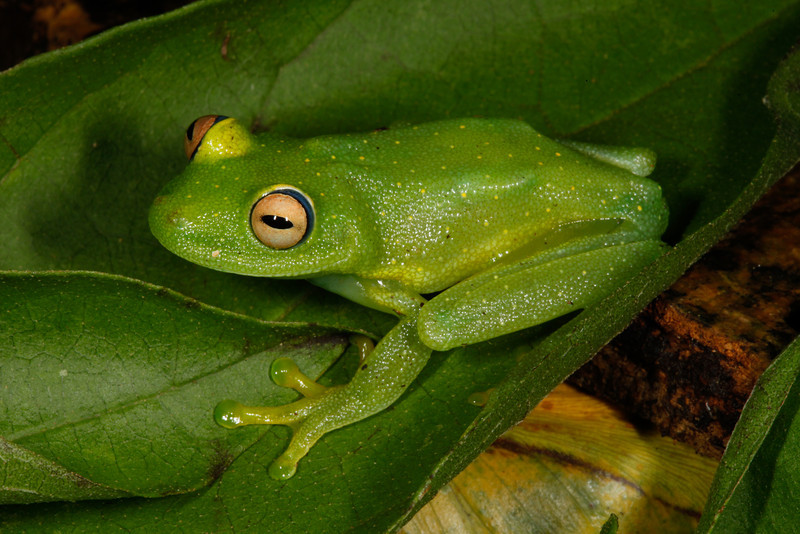 BC Hylidae Hylinae<br /> Boana cinerascens<br /> Rough Skinned Green Treefrog<br /> Madre Selva<br /> 2013