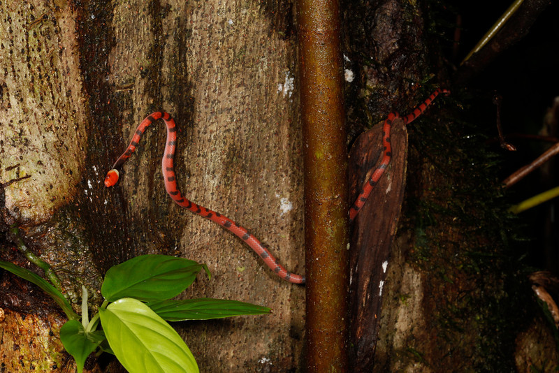 EEF Colubroidea Dipsadidae<br /> Siphlophis compressus<br /> Red Vine Snake<br /> Santa Cruz <br /> 2013