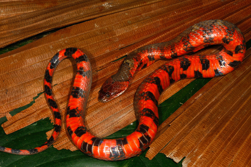 EEF Colubroidea Dipsadidae<br /> Helicops angulatus<br /> South American Banded Water Snake<br /> Madre Selva<br /> 2013