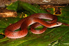 EEF Colubroidea Dipsadidae<br /> Erythrolamprus typhlus<br /> Velvety Swamp Snake<br /> Red Phase<br /> Madre Selva<br /> 2013
