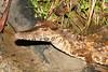 C Crocodylia Eusuchia Alligatoridae<br /> Paleosuchus trigonatus<br /> Smooth Fronted Caiman<br /> Nauta Road<br /> 2013