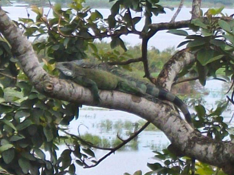 DA Iguania Iguanidae Iguanidae<br /> Iguana iguana<br /> Green Iguana<br /> Iquitos<br /> 2013
