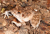BG Strabomantidae Strabomantinae<br /> Oreobates quixensis<br /> Common Big Headed Rain Frog<br /> Madre Selva<br /> 2013