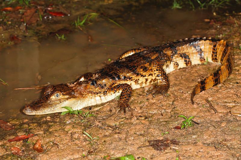 C<br /> Caiman crocodilus<br /> Spectacled caiman<br /> Santa Cruz<br /> 2013