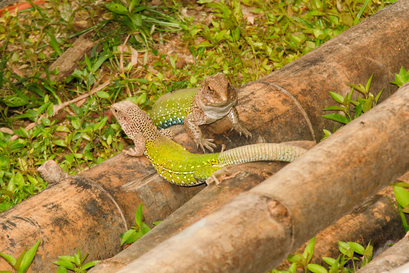 DCD Scincomorpha Teiidae<br /> Ameiva ameiva<br /> Amazon Whiptail<br /> Iquitos<br /> 2013