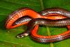EEF Colubroidea Dipsadidae<br /> Atractus collaris<br /> Madre Selva<br /> 2013