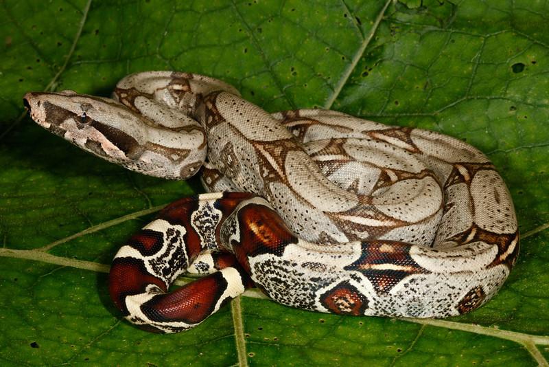 ED Booidea Boidae Boinae<br /> Boa constrictor constrictor<br /> Red Tailed Boa<br /> Madre Selva<br /> 2013