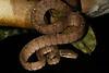 ED Booidea Boidae Boinae<br /> Corallus hortulanus<br /> Amazon Tree Boa<br /> Madre Selva <br /> Speciman #2<br /> 2013