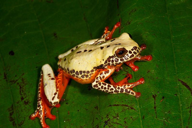BC Hylidae Hylinae<br /> Dendropsophus triangulum<br /> Variable Clown Treefrog<br /> Madre Selva<br /> Specimen #4<br /> 2013
