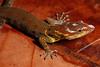 DB Gekkota Sphaerodactylidae <br /> Gonatodes humeralis<br /> Bridled Forest Gecko<br /> Madre Selva<br /> Male<br /> 2013
