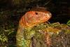 DCD Scincomorpha Teiidae<br /> Dracaena quixensis<br /> Northern Caiman Lizard<br /> Madre Selva<br /> 2013
