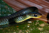 EEB Colubroidae Colubridae<br /> Chironius fuscus<br /> Olive Whipsnake<br /> Speciman #1<br /> Madre Selva<br /> 2013