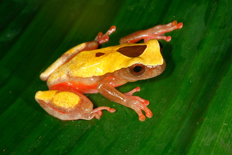 BC Hylidae Hylinae<br /> Dendropsophus triangulum<br /> Variable Clown Treefrog<br /> Santa Cruz<br /> Speciman #1<br /> 2013