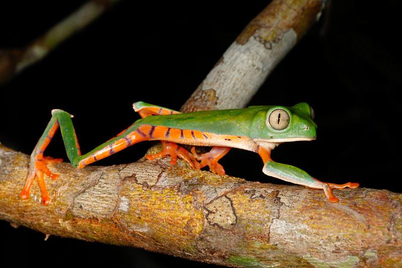 BC Hylidae Phyllomedusinae<br /> Phyllomedusa tomopterna<br /> Barred Monkey Frog<br /> Madre Selva<br /> 2013