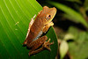 BC Hylidae Hylinae                                     <br /> Boana geographica<br /> Map Treefrog<br /> Madre Selva<br /> Specimen #3<br /> 2013