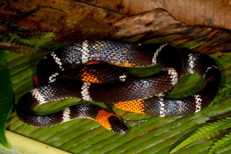 EEF Colubroidea Dipsadidae<br /> Oxyrhopus vanidicus<br /> Black Headed Calico Snake<br /> Speciman #1<br /> Santa Cruz<br /> 2013
