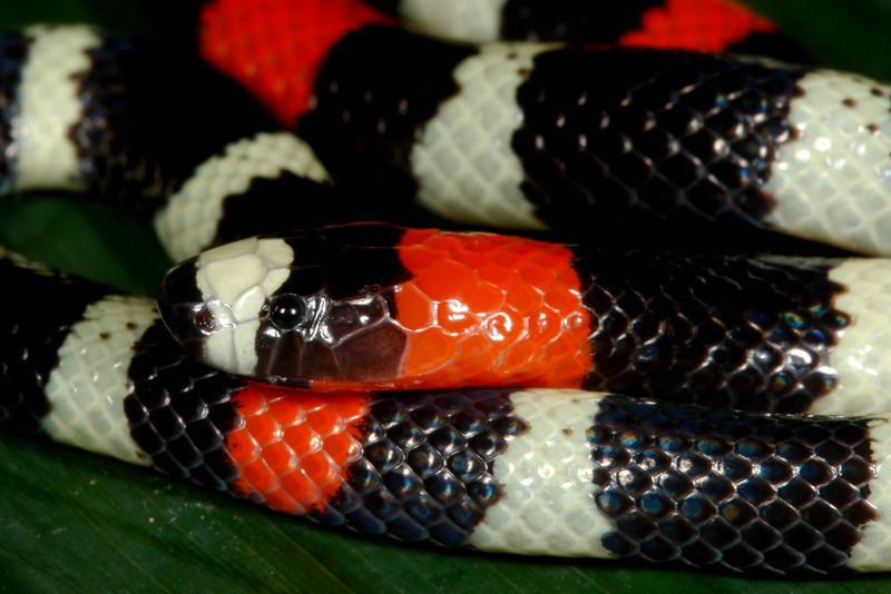 EI Colubroidea Elapidae Elapinae<br /> Micrurus lemniscatus<br /> Eastern Coral Ribbon Snake<br /> Madre Selva<br /> 2013