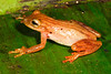 BC Hylidae Hylinae<br /> Dendropsophus haraldschultzi<br /> Many Striped Treefrog<br /> Madre Selva<br /> 2013