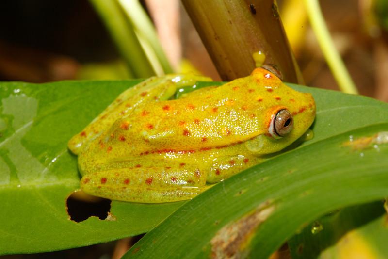 BC Hylidae Hylinae<br /> Hypsiboas punctatus<br /> Polkadot Treefrog<br /> Madre Selva<br /> 2013